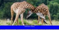 Cuando las jirafas pelean, son honorables