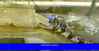 Cuando una anguila sube por una rampa para comer calamares de una abrazadera, eso es una Moray