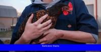 Deje de besar y acurrucar a los pollos, dicen los CDC después del brote de salmonela
