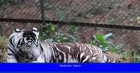 Descubra por qué los tigres negros indios tienen las rayas más gruesas