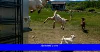 El arma poco convencional contra futuros incendios forestales: las cabras