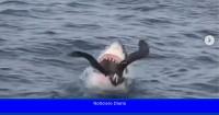 El impresionante video del momento en el que un tiburón blanco caza un ave acuática