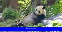 Una alegre sorpresa en el zoológico más antiguo de Japón: el nacimiento de los pandas gemelos